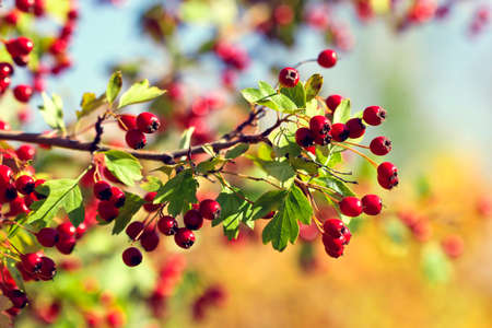 Hawthorn twigs in autumn Stock Photo