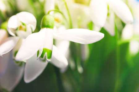 gentle snowdrops close up Stock Photo
