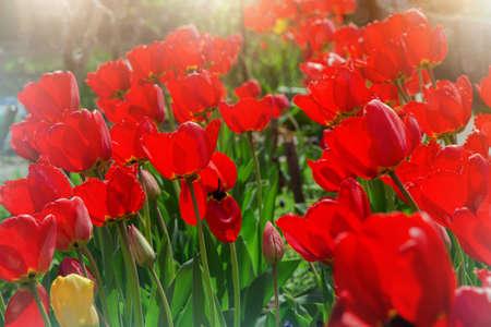 lovely: lovely blooming tulips