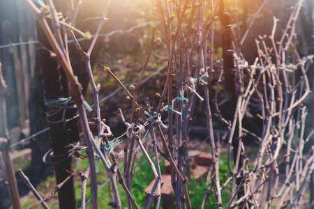 grapevine: grapevine in a garden