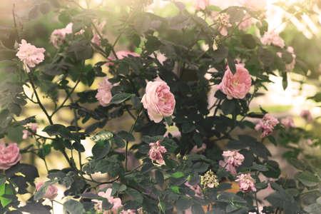 rose-bush: Rosebush in a garden