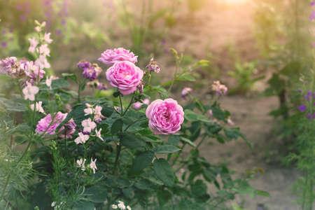 rose-bush: rosebush, pink flowers in a garden