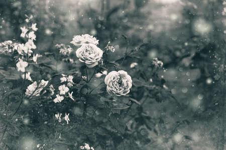 rose-bush: rosebush, black and white image