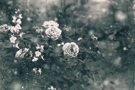 rosebush: rosebush, black and white image