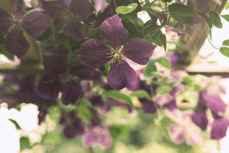 clematis: beautiful purple clematis flowers