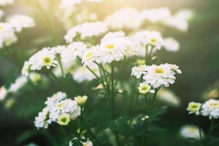 chamomiles: cute flowering chamomiles Stock Photo