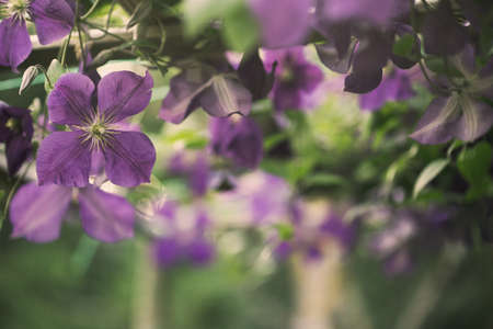 clematis: clematis flowers, nature background