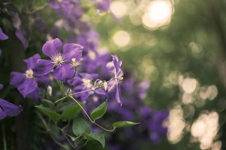 clematis: violet clematis flowers