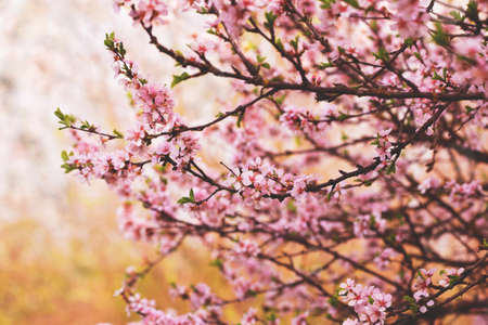 lovely blooming branches with pink flowers Standard-Bild