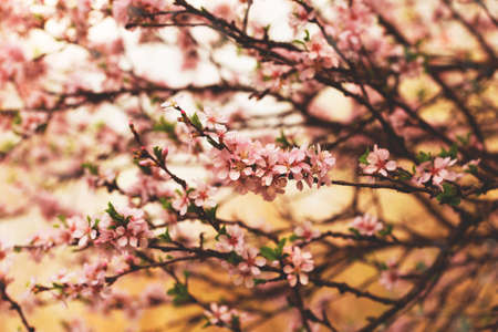 beautiful blooming cherry tree branches with pink flowers