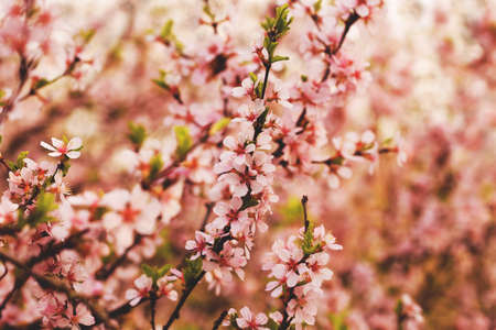 beautiful blooming twigs with pink flowers
