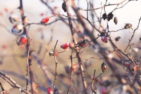 wild rose hips in winter Standard-Bild
