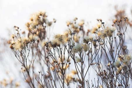 dried plant, winter outdoor Standard-Bild