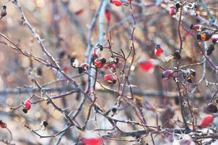 rosehip berries in winter