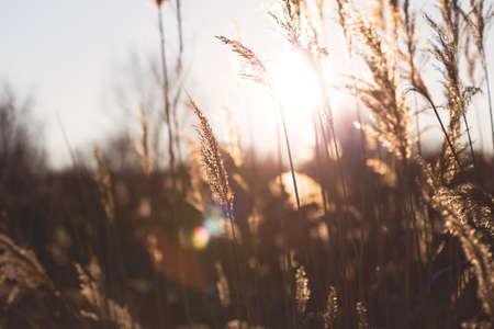 reeds at sunset close up Standard-Bild