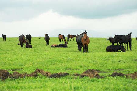horses on a meadow Standard-Bild