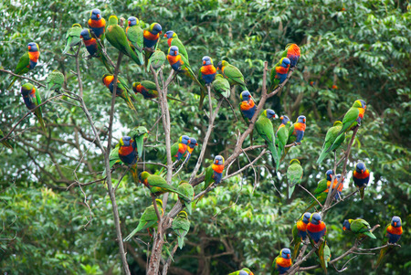 A flock of Rainbow Lorikeets covering a tree Stock fotó - 120671427