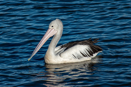 A pelican (large water bird) swims in the sea looking for a meal