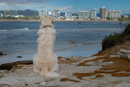 A Golden Retriever puppy dog sits patiently looking out on a nice ocean view Stockfoto