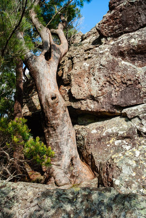 An old tree at Surprise Rock, Lamington National Park looking very similar to the rock it seems to be growing from