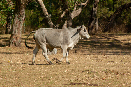 A powerful looking bull walks in a pasture