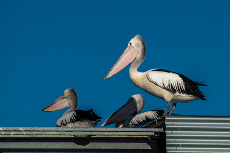 A group of Pelicans rest together in the sun. These pelicans were photographed in Mooloolaba, Australia Stock fotó