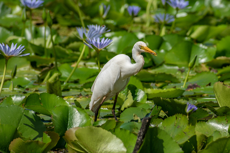 A Little Egret (species of small heron) fishing in a lilly pond - Queensland, Australia Stock fotó
