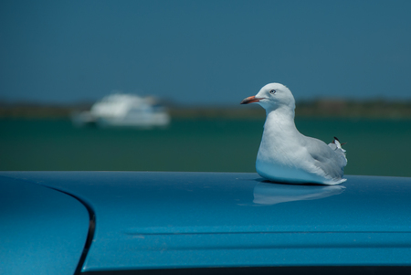 A seagull rests on a car roof with a boat in the background