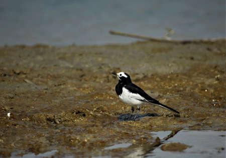 Witte doorbladerde kwikstaart. Het werd gevonden op het moerasland in Gajoldoba, West-Bengalen, India. Mooie vogel om naar te kijken.