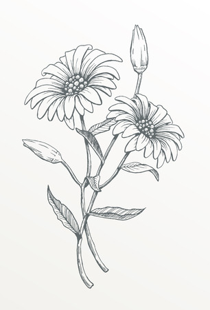 Hand drawn line art flower. Vector drawing of two daisies