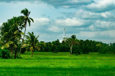 Paddy field and the coconut trees