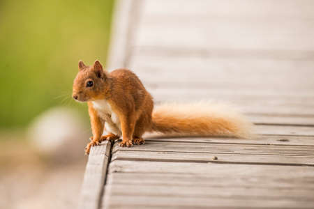 juveniles: Red squirrelSciurus vulgaris