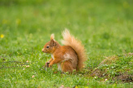 nibbling: Red squirrelSciurus vulgarison the ground holding a nut