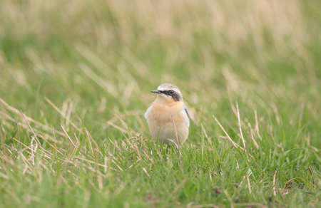 A Northern wheatear Oenanthe  on the grass photo