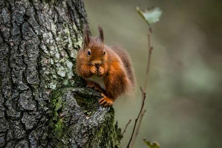 red squirrel: Red squirrel Sciurus vulgaris on a tree trunk