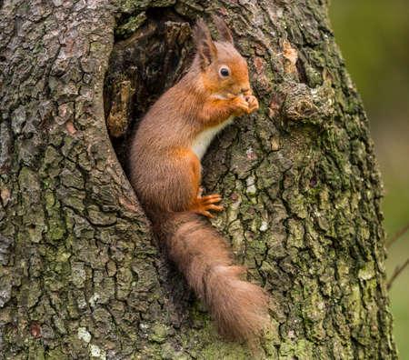 nibbling: Red squirrelSciurus vulgarissitting in a tree
