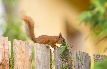 nibbling: Red squirrelSciurus vulgaris