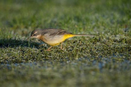 wagtail: Grey wagtail on grass