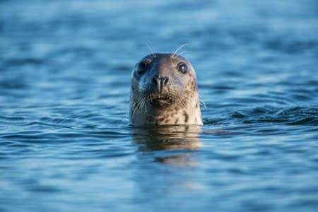 Common seal in the sea