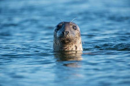 sellos: Sello com�n en el mar