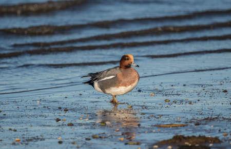 the ornithology: Wigeon