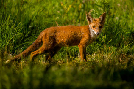 red fox: A Red Fox in the grass