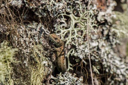 camoflauge: A Lizard on a Lichen covered tree