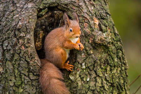 Red squirrelSciurus vulgarissitting in a tree