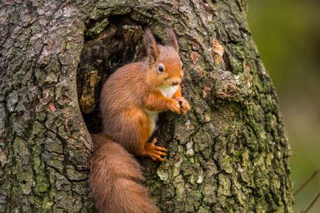Rode squirrelSciurus vulgarissitting in een boom