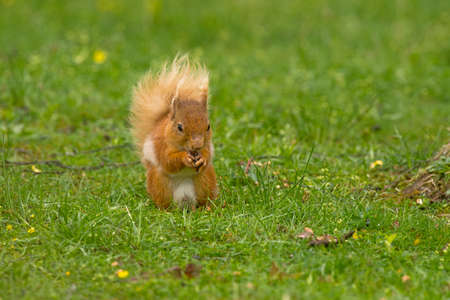 nibbling: Juvenile Red Squirrel nibbling a nut on grass in Scotland