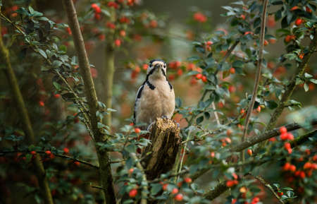 dendrocopos: Great spotted woodpecker Dendrocopos  major perched on a tree trunk Stock Photo