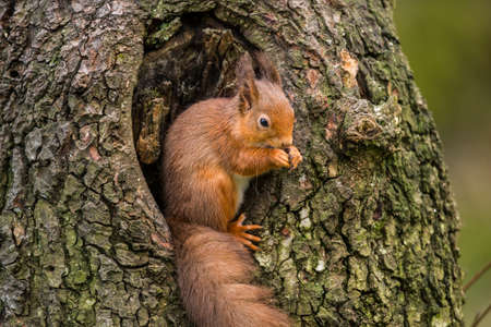 nibbling: Red Squirrel on a tree trunk in Scotland nibbling a nut