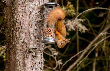 vulgaris: Red squirrel Sciurus vulgaris sitting in a tree Stock Photo