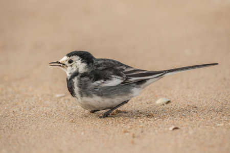 pied: Pied wagtail on beach Stock Photo